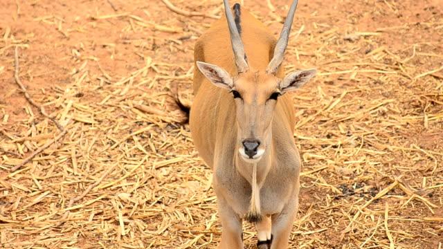oryx - antilope stock-videos und b-roll-filmmaterial