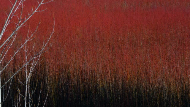 vídeos de stock e filmes b-roll de osier plantation in serrania de cuenca, cuenca, castilla - la mancha, spain, europe - cornus