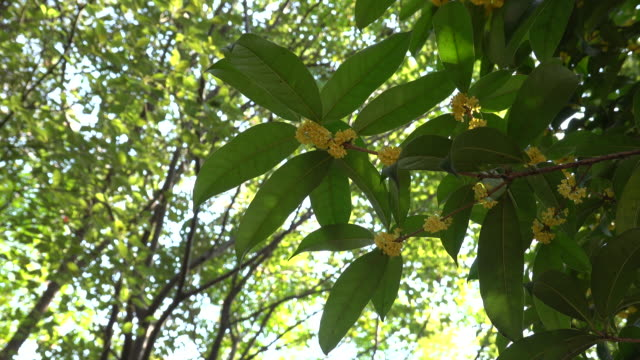 osmanthus flower blooming in autumn - incense stock videos & royalty-free footage