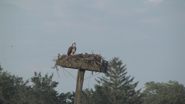 「osprey 6 hd 30 f - ミサゴ点の映像素材/bロール