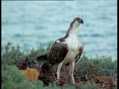 osprey calls at nest - osprey stock videos & royalty-free footage