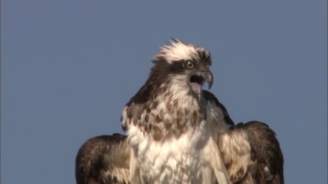 osprey (pandion haliaetus) calls in tree, yellowstone, usa - bird of prey stock videos & royalty-free footage