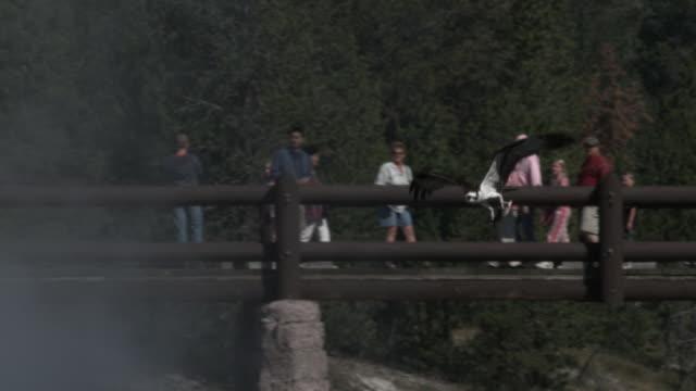 stockvideo's en b-roll-footage met osprey clutching fish flies past tourists on bridge over river. - visarend