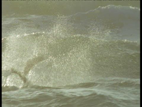 stockvideo's en b-roll-footage met osprey dives into surf, miami beach - visarend