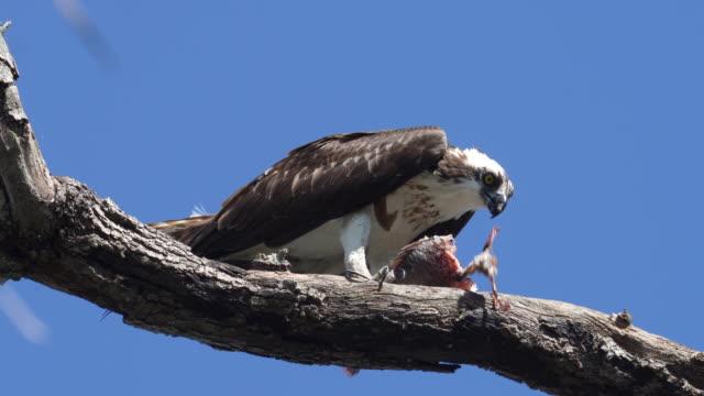 木の枝で魚を食べるオスプレイ - ミサゴ点の映像素材/bロール