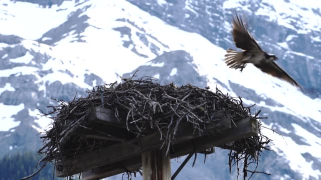 osprey (pandion haliaetus) enters and leaves nest below mountain peak - animal nest stock videos and b-roll footage