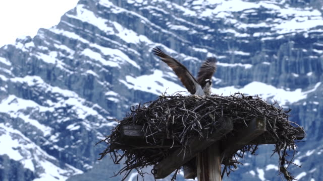 オスプレイ (パンディオン haliaetus) 山のピークの下の巣に出入り - ミサゴ点の映像素材/bロール