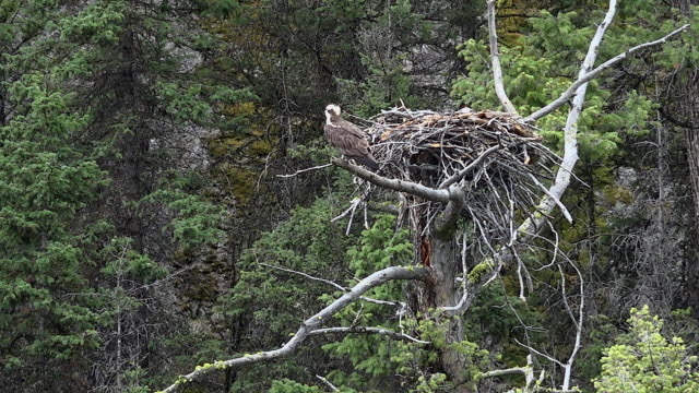 osprey flies from nest over lamar river, spring in yellowstone national park, wyoming - ミサゴ点の映像素材/bロール