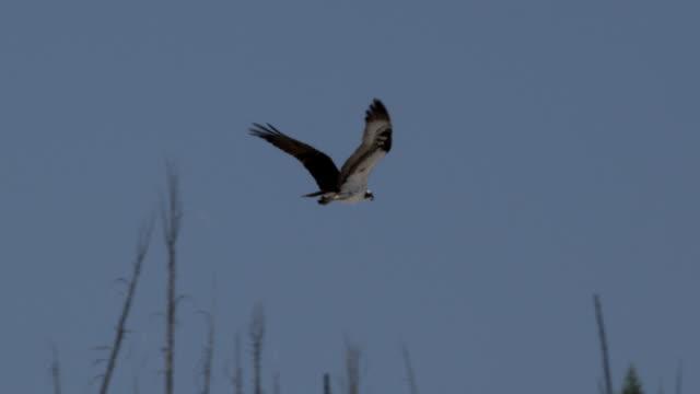 osprey flies past trees. - ミサゴ点の映像素材/bロール