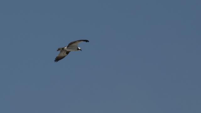 osprey flies through blue sky and defaecates. - ミサゴ点の映像素材/bロール