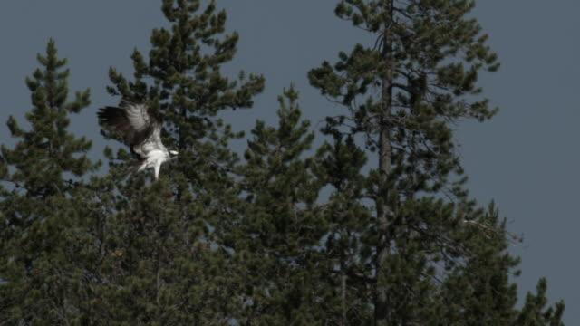 stockvideo's en b-roll-footage met osprey flies through blue sky then lands in tree. - visarend