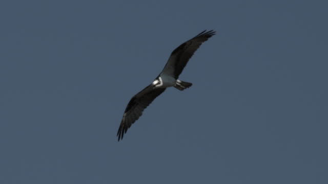 stockvideo's en b-roll-footage met osprey flies through blue sky. - visarend