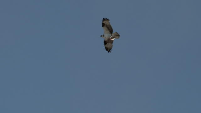 osprey flies through blue sky whilst clutching fish in its talons. - osprey stock videos & royalty-free footage