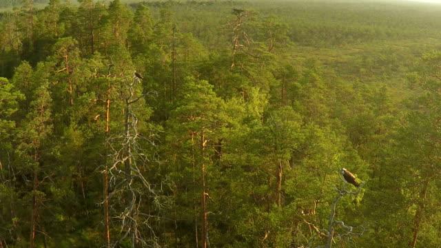 「osprey から空気 - ミサゴ点の映像素材/bロール