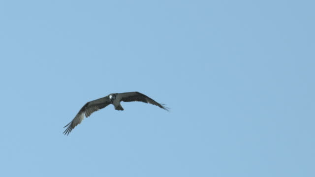 osprey hovers in blue sky. - osprey stock videos & royalty-free footage