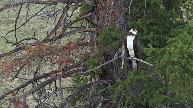 osprey hunting for fish in river below, yellowstone national park, wyoming - ミサゴ点の映像素材/bロール