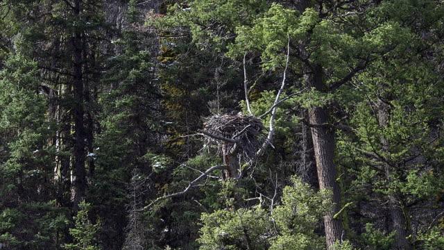 osprey in nest over lamar river, yellowstone national park, wyoming - ミサゴ点の映像素材/bロール