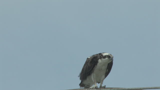 osprey in the wind 2 - hd 30f - osprey stock videos & royalty-free footage