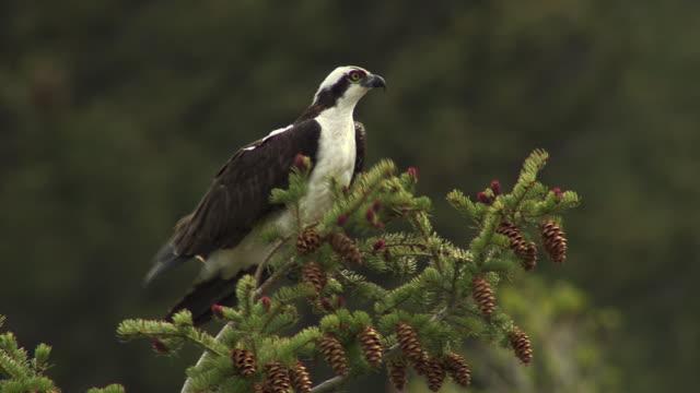 osprey in tree - ミサゴ点の映像素材/bロール