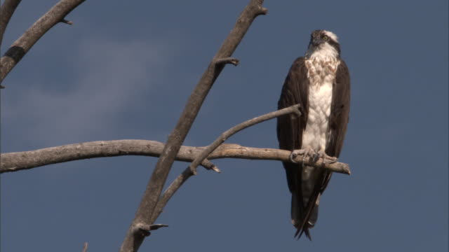 osprey (pandion haliaetus) in tree, yellowstone, usa - osprey stock videos & royalty-free footage
