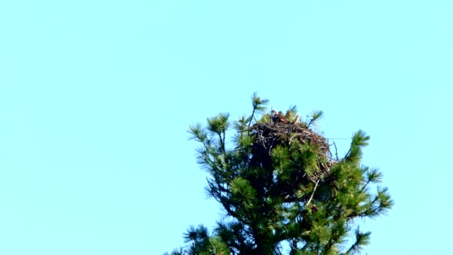 osprey nest and blue skies - digital enhancement stock videos and b-roll footage