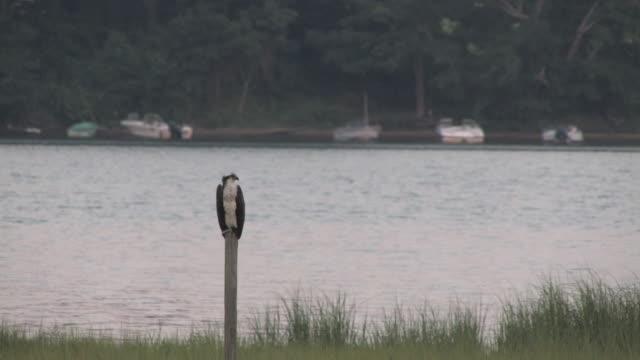 stockvideo's en b-roll-footage met osprey on the post 1 - hd 30f - visarend