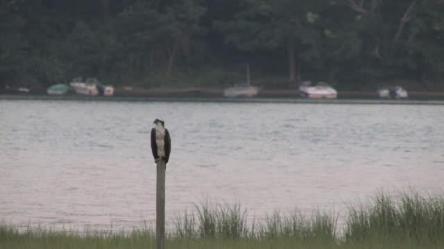 stockvideo's en b-roll-footage met osprey on the post 2 - hd 30f - visarend