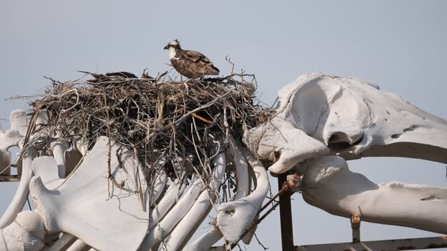 osprey on whale skeleton - bird's nest stock videos & royalty-free footage
