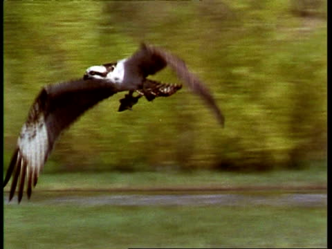 osprey, pandion haliaetus, flies over lake, carrying fish, pan left to follow, usa - osprey stock videos & royalty-free footage