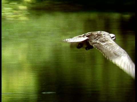 stockvideo's en b-roll-footage met osprey, pandion haliaetus, flying over lake, pan to follow, usa - visarend