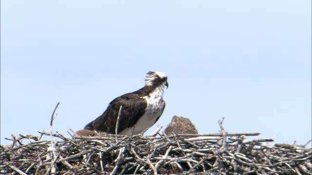 a osprey perches in its nest. - ミサゴ点の映像素材/bロール