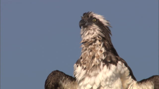 osprey (pandion haliaetus) preens in tree, yellowstone, usa - osprey stock videos & royalty-free footage