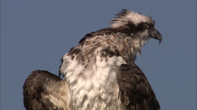 osprey (pandion haliaetus) preens in tree, yellowstone, usa - bird of prey stock videos & royalty-free footage