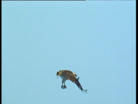 stockvideo's en b-roll-footage met osprey shakes itself in flight - visarend