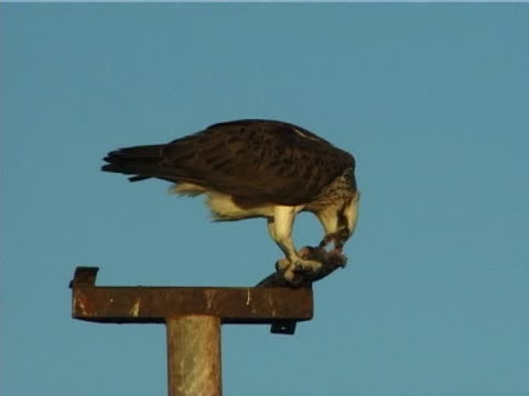 osprey sitting on pole, feeding on fish, (2006) - ningaloo reef stock videos & royalty-free footage
