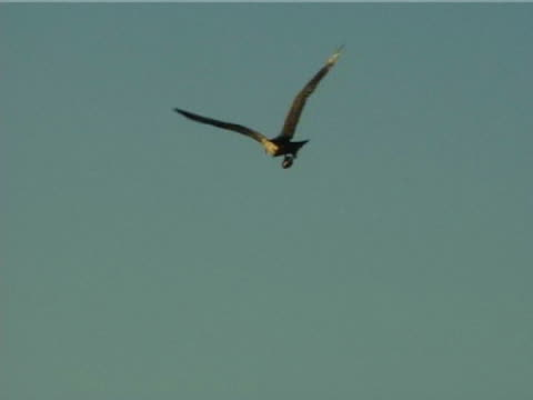 osprey sitting on pole, taking off, flying circle, (2006) - ningaloo reef stock videos & royalty-free footage