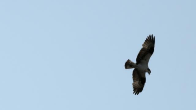osprey soars in blue sky. - ミサゴ点の映像素材/bロール