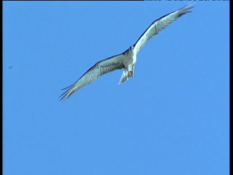 stockvideo's en b-roll-footage met osprey soars overhead - visarend