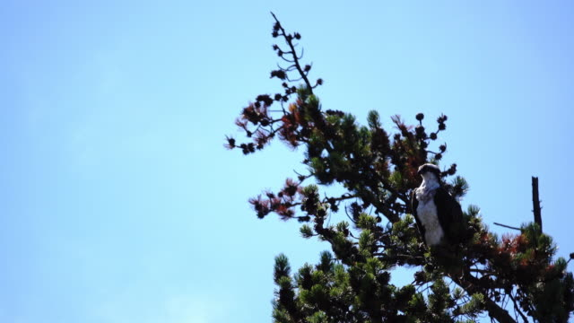 木の上に立っているミサゴ - 猛禽点の映像素材/bロール