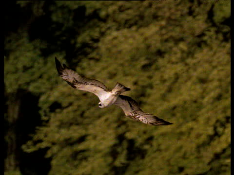 osprey swoops and dives into lake with big splash to catch fish, uk - osprey stock videos & royalty-free footage