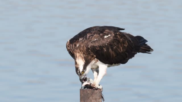 osprey - osprey stock videos & royalty-free footage