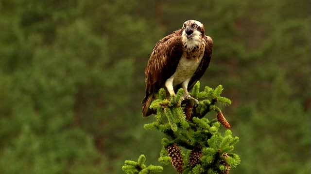 osprey - african fish eagle stock videos & royalty-free footage