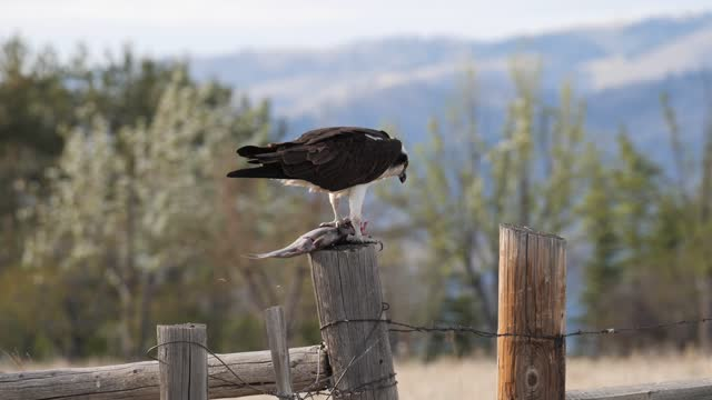osprey with fish - montana western usa stock videos & royalty-free footage