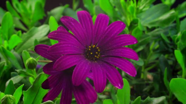花満開 uhdv osteospermun - 極端なクローズアップ点の映像素材/bロール