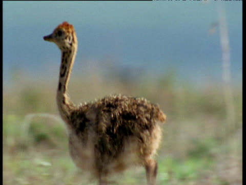 ostrich chick runs and flaps its tiny wings on savanna - babyhood stock videos & royalty-free footage