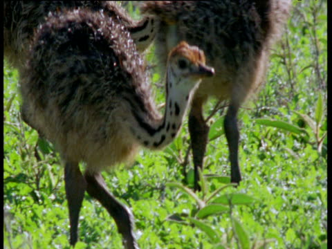 ostrich chicks forage on savanna - babyhood stock videos & royalty-free footage