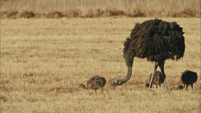ostrich family - animal family stock videos & royalty-free footage