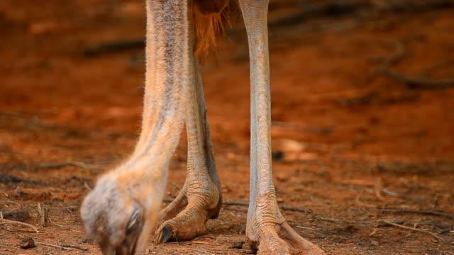 vídeos y material grabado en eventos de stock de avestruz de alimentación - pata de animal pierna