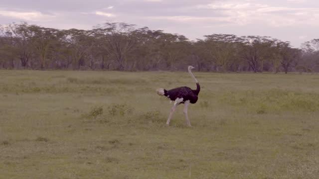 Ostrich in Lake Nakuru, Kenya