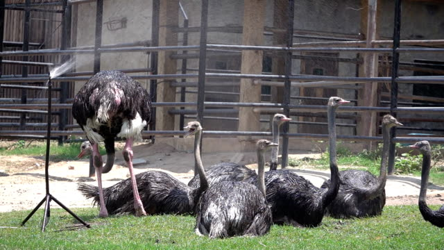 slo mo ostrich in summer - emu stock videos & royalty-free footage